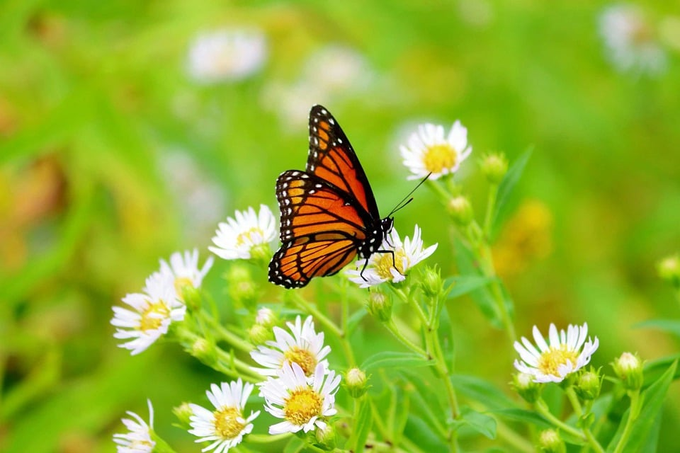 German chamomile attracts butterflies