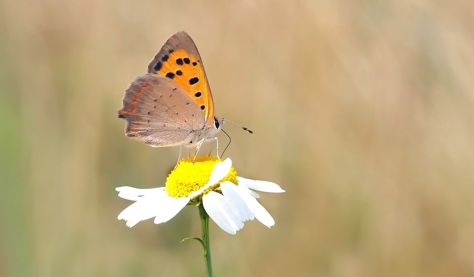 Roman chamomile produces less flowers than the German chamomile