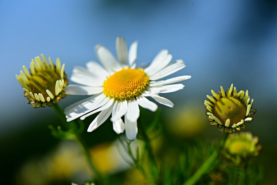Chamomile tea is very good for people with anxiety, stress and depression