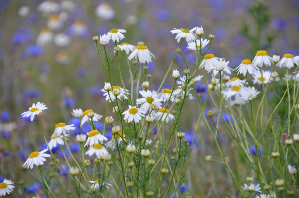 It is very common to see German chamomile in European meadows