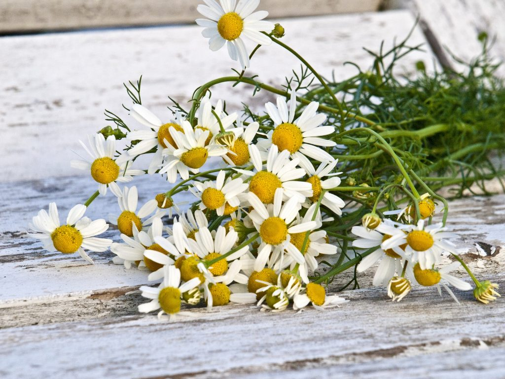 German chamomile produces more flowers than Roman chamomile