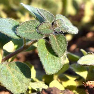 How to Plant Oregano: Varieties, Growth and Harvest