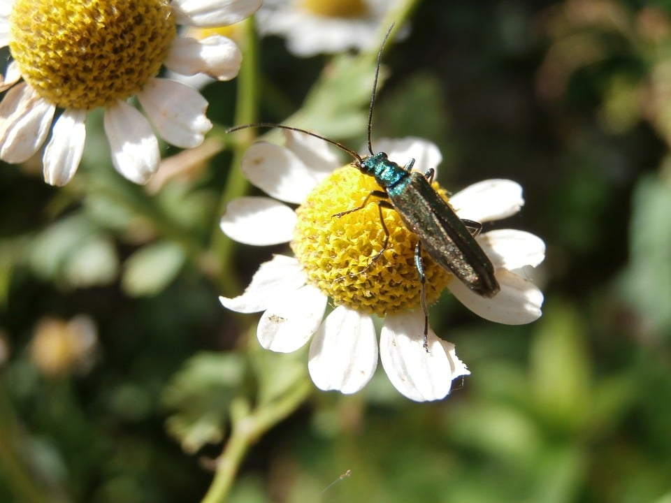 Bettle on top of a roman chamomile flower