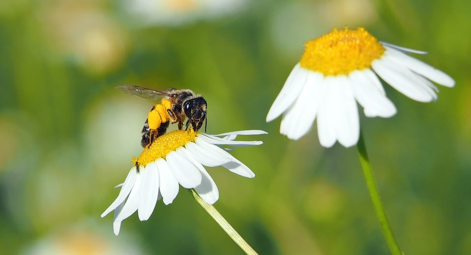 Bee on top of a roman chamomile flower