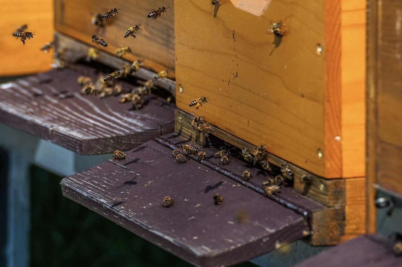 bees going in and out of a beehive
