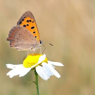 Roman Chamomile Attracts Beneficial Insects to your Garden