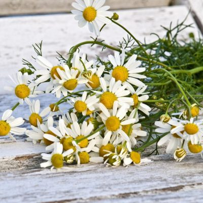 German Chamomile, a Tough Herb with a Delicious Smell