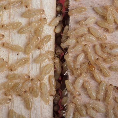 10 Effective Ways Treat to Termites Naturally