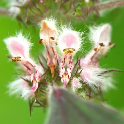 Growing Medicinal Motherwort is Surprisingly Easy!