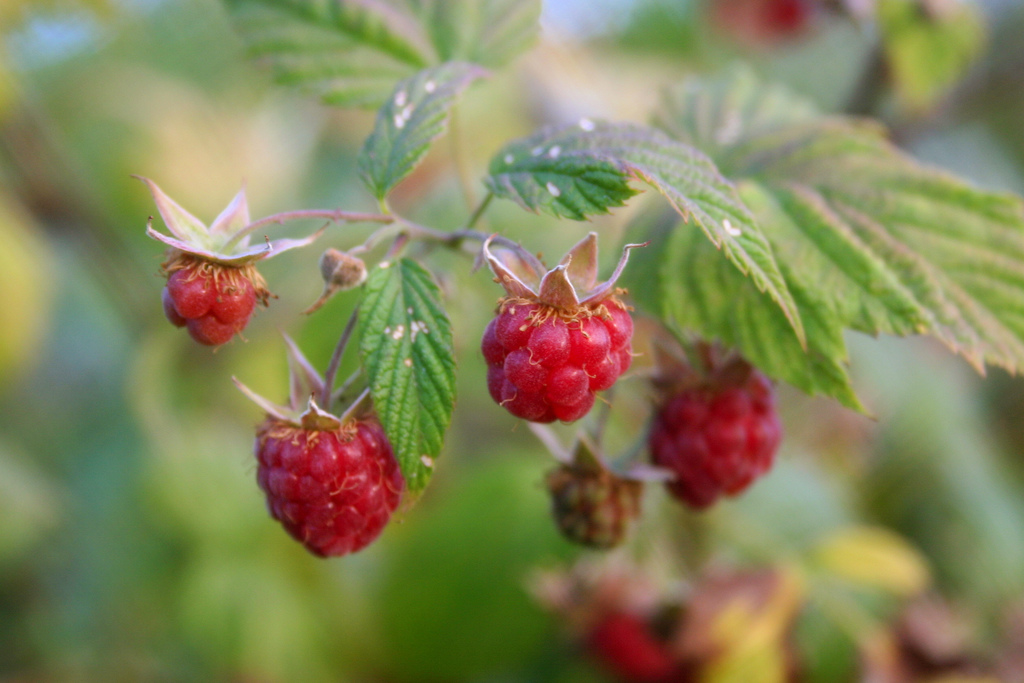red raspberry leaf tea is one of the most helpful herbs for labor