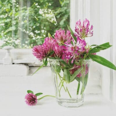 Remarkable Health Benefits of Red Clover