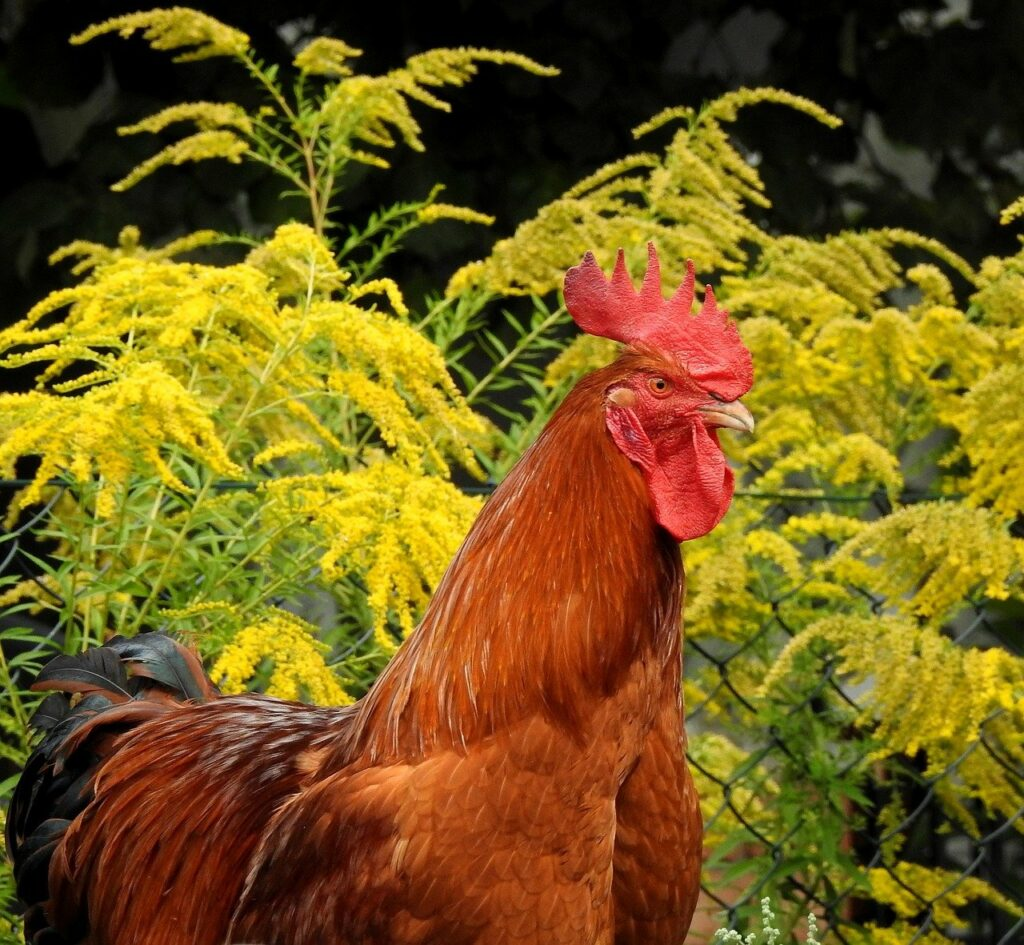 best herbs for chickens