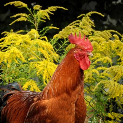 14 Beneficial Herbs for Chickens that you should Grow