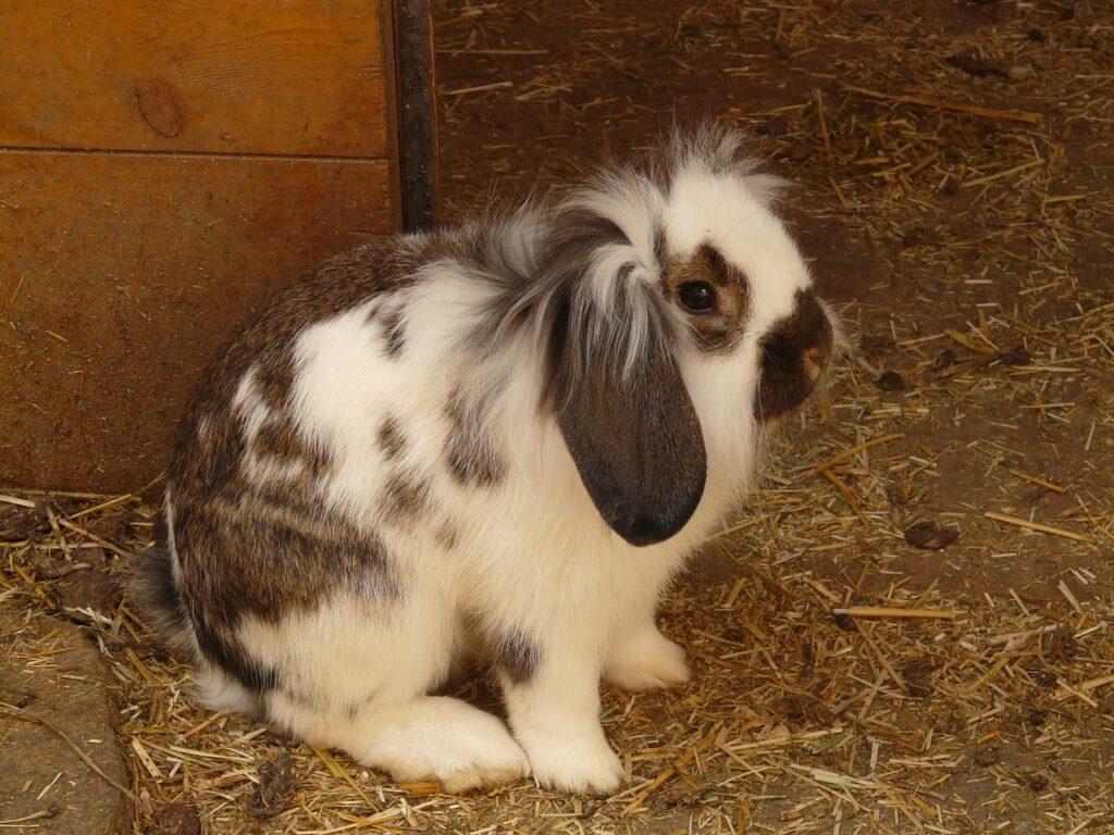 rabbits eat poop