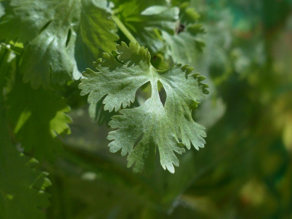 detox with cilantro