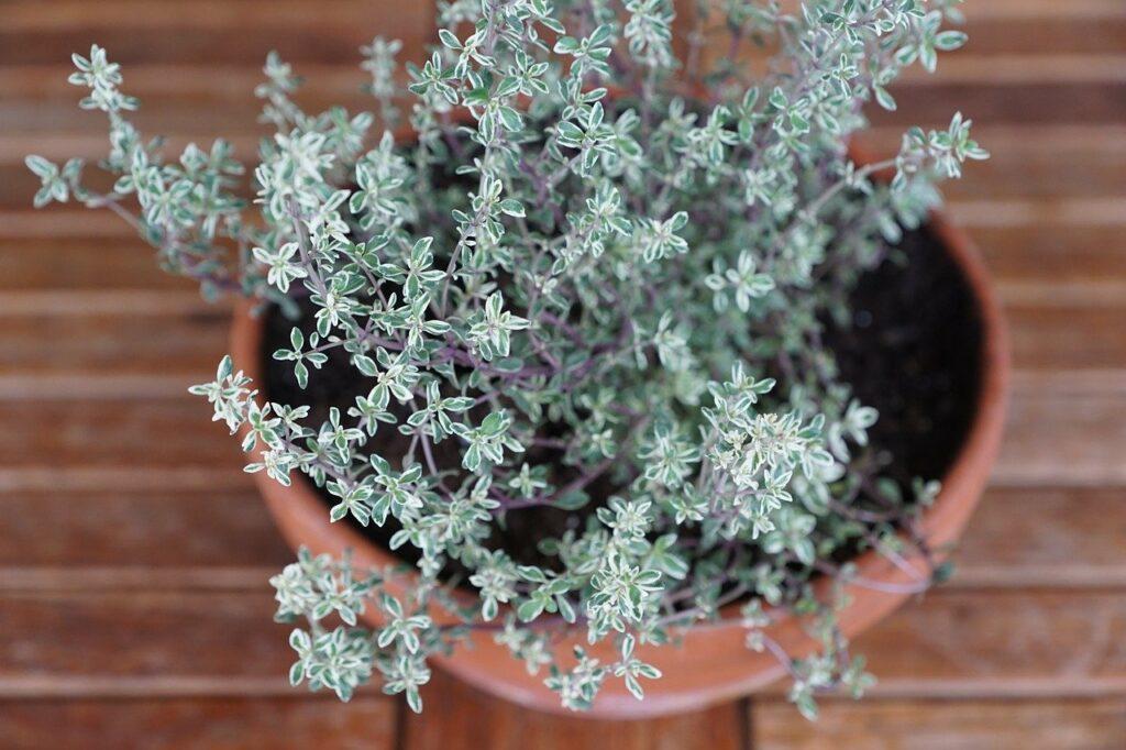 grow thyme in a terracota pot
