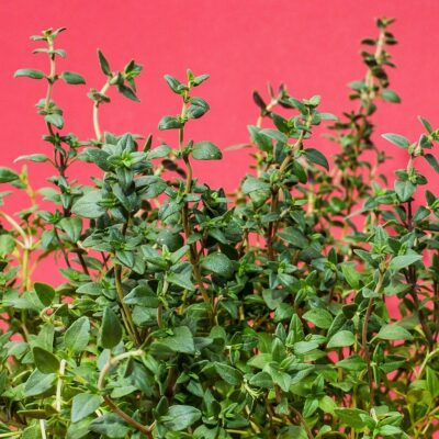How to Grow Thyme – Convenient Info You Need to Know