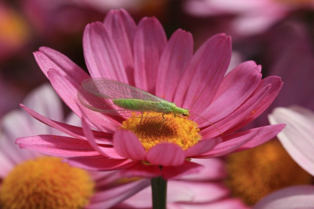 lacewing are beneficial insects