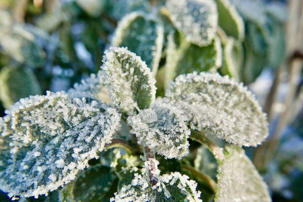 frozen sage plant