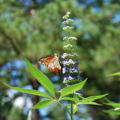 Vitex, the Effective Hormonal Herb Regulator for Women